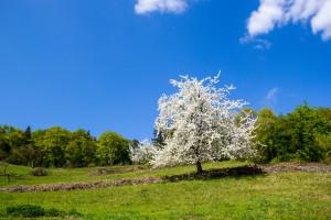 Kirschblütenwanderung-4